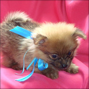 outstanding t-cup pomeranian pups for clean compound