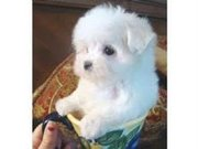 Maltese puppy foradoption